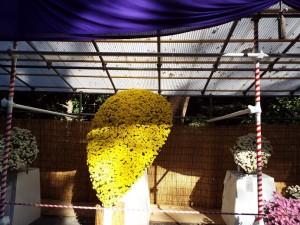大きな懸崖菊