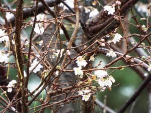 11月の桜の花