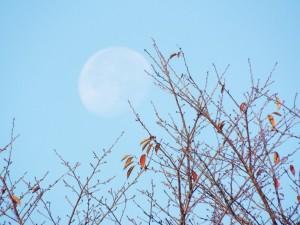 桜の枝と月