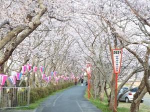 土手の桜と提灯