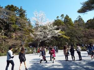伊勢神宮境内の桜